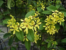 Wild yellow flowers growing at our front gate. I don't know its name, do you?